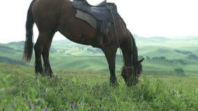 Un caballo marrón hermoso pellizca y mastica la hierba en las montañas hermosas de Altai metrajes