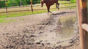Un caballo marrón joven golpea con el pie con los hoofs, un caballo juguetón, un semental con un carácter en el prado metrajes