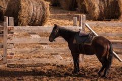 Un caballo marr?n oscuro en soportes del arn?s cerca de un prado con los pajares cosechados foto de archivo libre de regalías