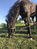 Un caballo marrón pasta en un prado foto de archivo