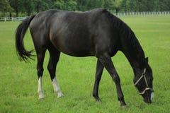 Un caballo negro camina en el campo imágenes de archivo libres de regalías
