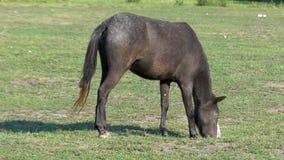 Un caballo negro con una nariz blanca pasta la hierba en el slo-MES metrajes