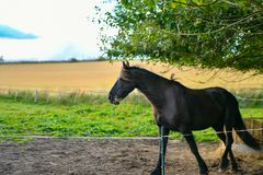 Un caballo negro en un fondo de los zorros amarillos del campo en Escocia imágenes de archivo libres de regalías