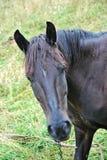 Un caballo negro que le mira Foto de archivo libre de regalías