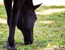 Un caballo negro que pasta en hierba verde imagenes de archivo