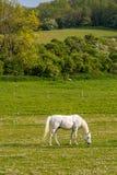 Un caballo que pasta imagen de archivo libre de regalías