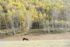 Un caballo que pasta en pradera del otoño con los árboles de abedul Imágenes de archivo libres de regalías