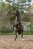 Un caballo que se coloca en dos piernas Imágenes de archivo libres de regalías