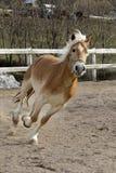 Un caballo salvaje del Palomino Foto de archivo