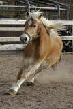 Un caballo salvaje del Palomino Imagen de archivo libre de regalías