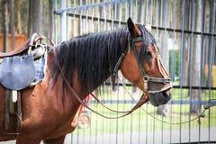 Un caballo triste del parque - él ` s atado y cansado Fotos de archivo
