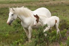Un caballus renversant de ferus d'Equus de cheval et son poulain doux se tenant ensemble dans la lande photos libres de droits