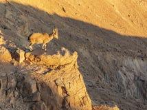Un cabra montés joven que empapa en los rayos pasados del sol poniente fotos de archivo