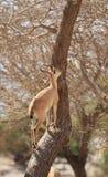Un cabra montés de Nubian en un árbol en el oasis de Ein Gedi Imagen de archivo