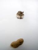 Un cacahuete enorme, un pequeño hámster fotografía de archivo