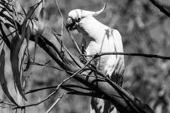 Un cacatoès blanc de perroquet sur une branche d'eucalyptus photos stock