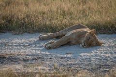 Un cachorro de león que duerme en el lado del camino Fotografía de archivo