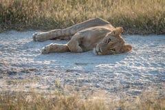 Un cachorro de león que duerme en el lado del camino Fotografía de archivo libre de regalías