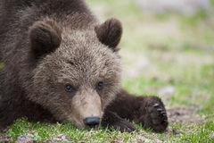 Un cachorro de oso Imágenes de archivo libres de regalías