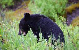 Un cachorro de oso negro hambriento cerca de Banff, Alberta Foto de archivo libre de regalías