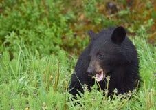 Un cachorro de oso negro hambriento que come los dientes de león Fotos de archivo libres de regalías