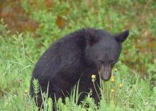 Un cachorro de oso negro tímido que presenta para la cámara Foto de archivo libre de regalías