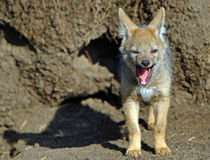 Un cachorro del chacal del bebé que bosteza Imagenes de archivo