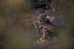 Un cachorro encubierto del leopardo fotografía de archivo libre de regalías