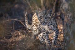 Un cachorro lindo del leopardo que mira la cámara imagen de archivo
