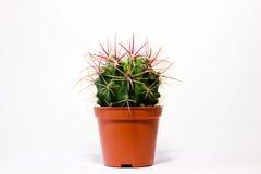 Un cactus Fotografia Stock