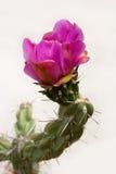 Un cactus che fiorisce sulla priorità bassa bianca Immagine Stock Libera da Diritti