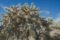 Un cactus de cholla de chainfruit en monument national de tuyau d'organe dans le d?sert de Sonoran de l'Arizona photos libres de droits
