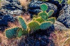 Un cactus de la pera en el valle del fuego Lava Field en New México Imagen de archivo