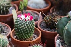 Un cactus de Mammillaraia Polythele Nuda en flor imagenes de archivo