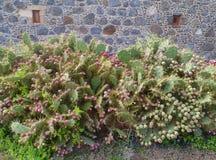 Un cactus de palette devant un mur des pierres volcaniques Image libre de droits