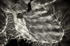 Un cactus del higo chumbo en infrarrojo blanco y negro Imagen de archivo