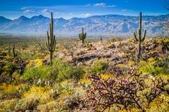 Un cactus delgado largo del Saguaro en el parque nacional de Saguaro, Arizona foto de archivo