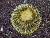 Un cactus della palla con le piccole pietre rosse nel fondo Fotografia Stock