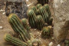 Un cactus di forma del barilotto con colore verde con la punta e la spina sul suolo a terra - foto bogor fotografie stock
