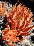 Un cactus di tre colori rossi Immagini Stock Libere da Diritti