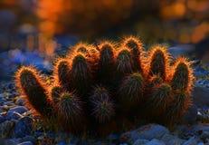 Un cactus en la puesta del sol con las agujas que brillan intensamente foto de archivo libre de regalías