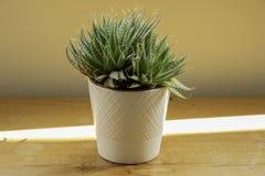 Un cactus en un pote blanco en un worktop de madera fotos de archivo