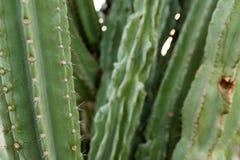Un cactus grande con las espinas en el fondo espinoso salvaje imágenes de archivo libres de regalías