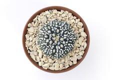 Un cactus mignon Image libre de droits