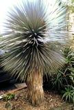 Un cactus o un albero Fotografia Stock