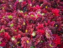 Un cadre rempli de dahlias roses Images libres de droits