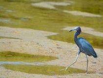 Un caerulea d'Egretta de héron de petit bleu à la réservation aquatique de baie de citron en Cedar Point Environmental Park, le c photos libres de droits