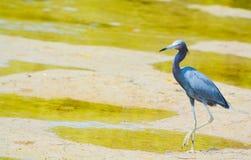 Un caerulea d'Egretta de héron de petit bleu à la réservation aquatique de baie de citron en Cedar Point Environmental Park, le c photos stock