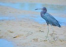 Un caerulea d'Egretta de héron de petit bleu à la réservation aquatique de baie de citron en Cedar Point Environmental Park, le c images stock