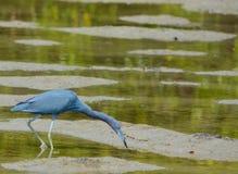 Un caerulea d'Egretta de héron de petit bleu à la réservation aquatique de baie de citron en Cedar Point Environmental Park, le c photo libre de droits